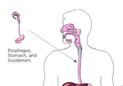 dr. bhandari - gastro patient education - the esophagus, Human Body