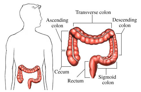 large intestine definition – citybeauty, Human body