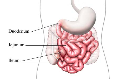 dr. bhandari - gastro patient education - the small intestine, Human Body